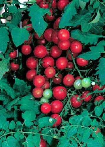 Tropica - Tomaten - Sweet Million F1 (Lycopersicon esculentum) - 10 Samen - - Gegen Resistent Tomaten-samen, Die Krankheiten