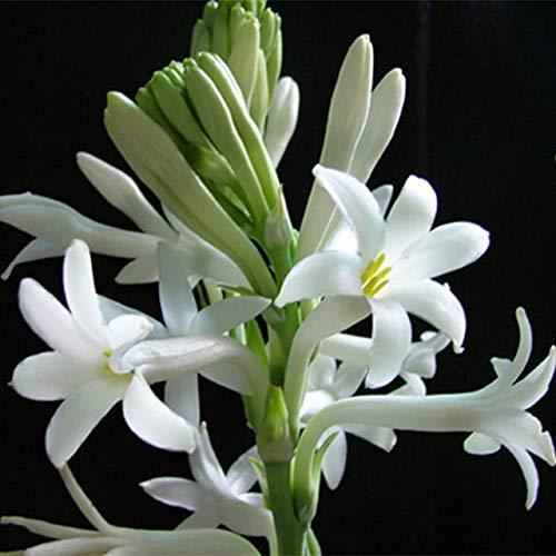 Virtue 24kinds Flowers 100pcs Bonsai Garden Plant Desierto Rose Poppy Peony Daisy Lavanda Lithops Hydrangea Violet Sunflower Lantern: 100-Noche Olor