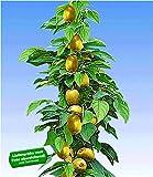 BALDUR-Garten Säulen-Kiwi 'Issai', 1 Pflanze selbstfruchtend Stachelbeer-Kiwi winterharte Obstpflanze