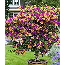Freies Verschiffen 100 Mix Farbe Bougainvillea Balkon Topf, Garten Bonsai Blume Pflanze enorm auffällige, floriferous robuste Pflanze 1