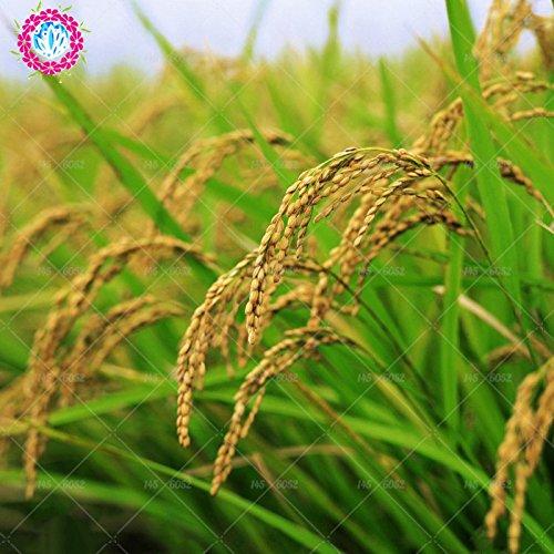 50pcs Reis seeds.Healthy nicht gentechnisch veränderten Getreide seeds.Chinese für Farmer Farm Pflanzung semillas Reis Samen Ernte Hinweise -