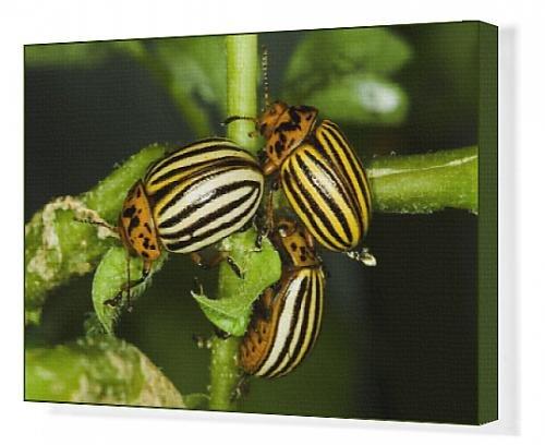canvas-print-of-agriculture-three-colorado-potato-beetles-leptinotarsa-decemlineata-feeding