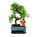 Bonsai Tree. Chinese Elm 20-25cm in blue ceramic pot and supplied with a driptray