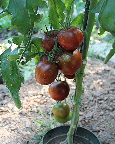 10 Samen Black Prince Tomate – russische Stabtomate, kältetolerant