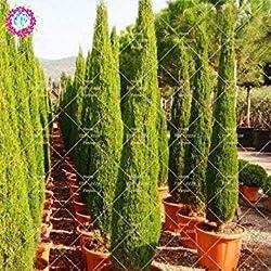 20PCS / Bag Zypressen Samen Conifer Bonsai Samen Staudentopfpflanze DIY Hausgarten