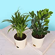 Ugaoo Air Purifier Indoor Plants for Home with Pots- Areca Palm & ZZ P