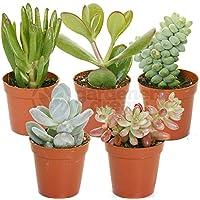 Succulent Mix - 5 Plants - House/Office Live Indoor Pot Plant - Ideal Gift