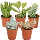 Succulent Mix - 5 Plants - House / Office Live Indoor Pot Plant - Ideal Gift