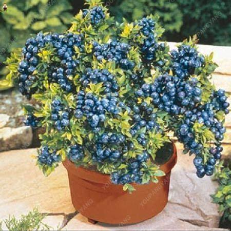 pinkdose 50pcs blueberry bonsai fruit tree highbush mirtilli diy piante di corteccia di giardino per giardino facile da coltivare per la decorazione invernale: bianco