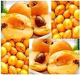 5 LOQUAT Eriobotrya japonica SEMI DELL'ALBERO DI SEMI GIAPPONESE NESPOLA Plum - alto contenuto di vitamina A - perfetto per VINIFICAZIONE - Zona 8a - 11