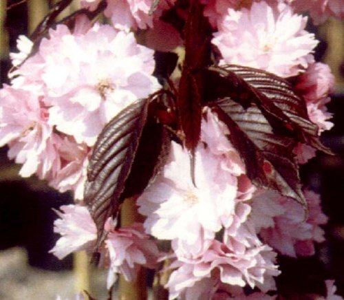 prunus-royal-burgundy-japanese-flowering-cherry-tree-8-ft-half-standard-supplied-in-a-10-l-pot