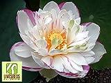 Liveseeds - Ninfea fiore / bonsai Lotus / stagni / 5 semi freschi / Due-Colori / rosa e bianco / rosa Bordo