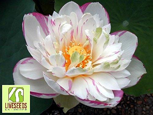 liveseeds-ninfea-fiore-bonsai-lotus-stagni-5-semi-freschi-due-colori-rosa-e-bianco-rosa-bordo