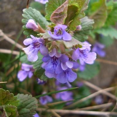 lichtnelke - Gundermann (Glechoma hederacea) von Lichtnelke Pflanzenversand - Du und dein Garten