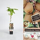 Inter Flower - Actinidia deliciosa 'Jenny' / 'Yennie' - Kiwi-Pflanze selbstfruchtende obsttragende Kletterpflanze mit raschem Wuchs für sonnige und warme Standorte in geschützter Lage Kiwi-Pflanze Actinidia chinensis starkwüchsige, winterhart verströmt sie schnell einen südländischen bis tropischen Charme Chinesische Stachelbeere