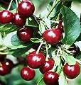 Schattenmorelle, selbstfruchtbare Sauerkirsche, Buschbaum, ca. 120-150 cm im 10 Liter Topf, Pr.avium von Grüner Garten Shop - Du und dein Garten