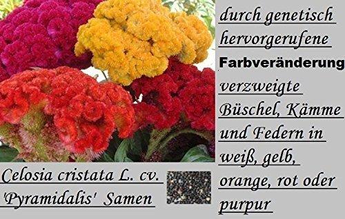 45x Colorato Gigante Parametrering cristata Pyramidalis Semi misto 4 Colori Tipi Giardino Seme (Rose Garden Di Bambù)