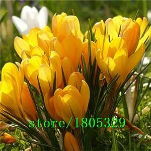 Krokus Samen Topfpflanzen Blumenbalkonpflanzen 50 Samen Bonsai Samen für Hausgarten