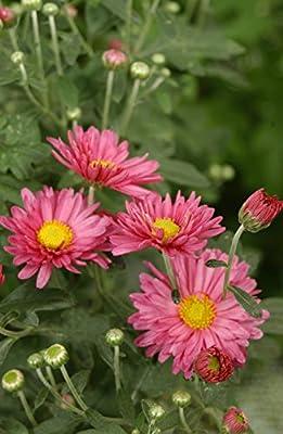 Kräuterey: chinesische Tee Chrysantheme - Chrysanthemum morifolium - Pflanze - Bioland von Kräuterey bei Du und dein Garten
