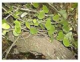 3x Adenia aloboensis Caudexpflanze Pflanze Samen Winterhart Neuheit Garten B522