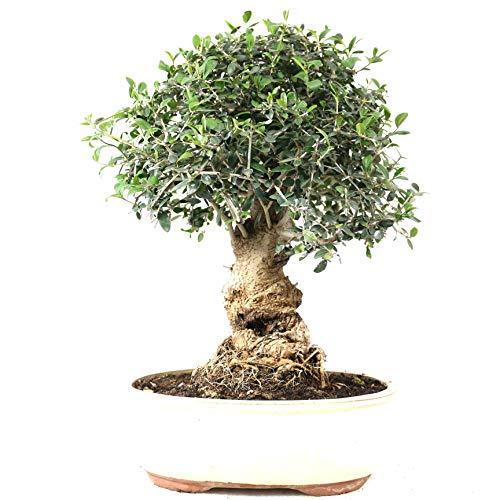 Bonsai, Olivenbaum, Olea europaea sylvetris, 20 Jahre, 41 cm Höhe
