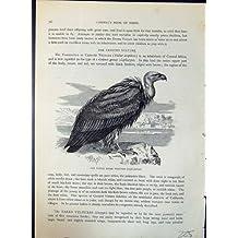 Le Vautour Fauve d'Oie Gyps des Oiseaux de Fulvus Brehm Jones C1860 Cassell
