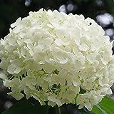 Rosepoem Schöne Hortensie Samen Das Pflanzen ist einfache romantische Blumen für Haus- u. Gartenpflanzen Blume Pflanzen Rare Samen 20 Stück