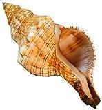 Regali Kaltner–Conchiglia Fasc iolaria Trapezium trapezio Band Lumaca Lumaca di mare 20–21cm grande