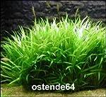 Wasserflora Grasartige Zwergschwertpf...