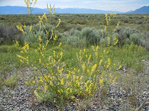 Asklepios-seeds - 2000 Samen Echter Gelber Steinklee Melilotus officinalis Heilpflanze