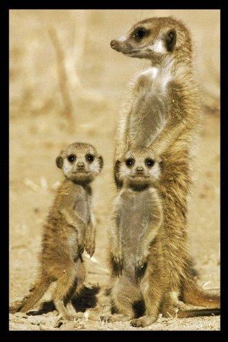Image of Meerkats - Maxi Poster - 61 cm x 91.5 cm