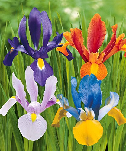 Willemse France Collection 40 Iris de Hollande