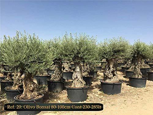 ULIVO OLIVO OLEA EUROPEA BONSAI VASO 285 LT FOTO REALE CIRCONF TRONCO 80-100 CM