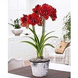 Hippeastrum Roter Lotus 50 Samen - Erde Indoor Garten Garten und Hof Ausführlicher Anzucht