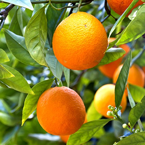 mandarin-citrus-tree-6l-pot-12m-tall
