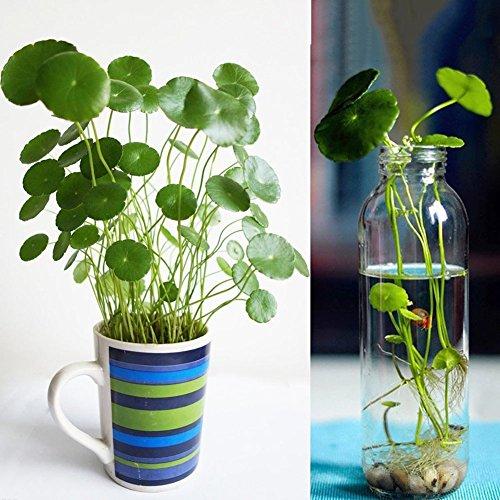 Green Tea Tree Seed,Catkoo 5Pcs Organic Healthy Fresh Green Tea Tree Seeds Yard Garden Farmland Plant