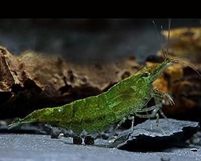 Garnelio Green Jade Garnele - 10 Stück