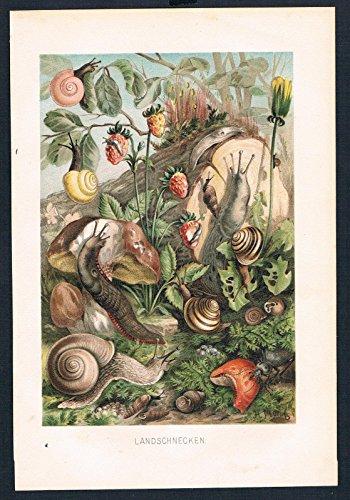 landschnecken-schnecken-schnecke-slug-farblithographie-lithography
