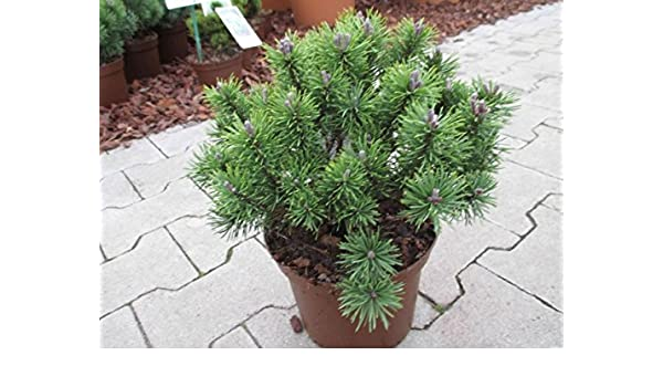 Pinus mugo Kugelkiefer Mops 10-15cm