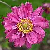 lichtnelke - Anemone (Anemone japonica