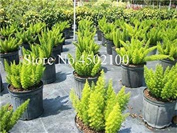 potseed . 120 pcs colorful coda di volpe fern rare esterna creeper vines erba fogliame misto pianta esotica per vasi di fiori fioriere: 9