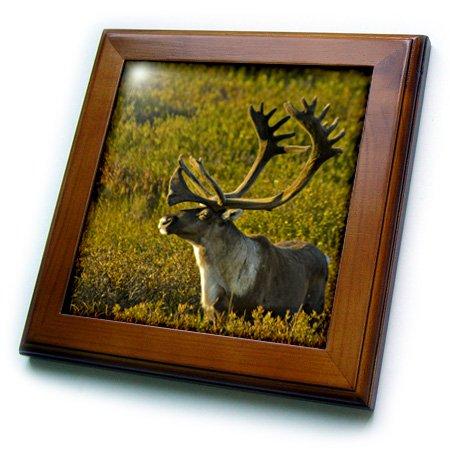 3drose FT _ 87527_ 1Alaska Denali National Park, Bull Karibu Wildlife–US02jgi0153–Jerry William–von Fliesen, 8von 20,3cm