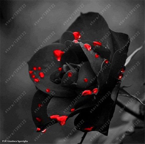 200pcs / sac rare graines rose multi-couleur rose graines de fleurs bonsaï graines bonsaïs noir rose plante rare balcon pour le jardin à la maison 22 mis en pot