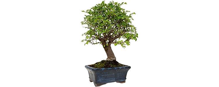Piante da interno giardino e giardinaggio for Bonsai da interno