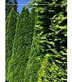 Lebensbaum Thuja Smaragd 100-120 cm, 20x Heckenpflanze, inkl. Versand von MeisterGarten.eu - Du und dein Garten