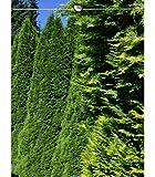 Lebensbaum Thuja Smaragd 200-225 cm EXTRA, 7x Heckenpflanze, inkl. Versand