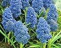 """100 Traubenhyazinthen Muscari Armeniacum """"Blue Spike"""", Gr. 8/9 von Krull Pflanzenhandel - Du und dein Garten"""