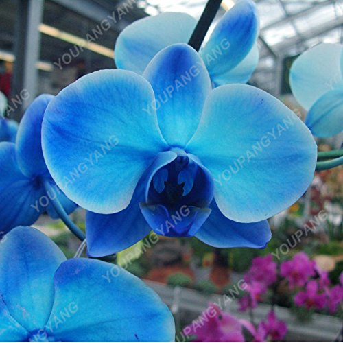 100pcs Orchid Seed Graines de fleurs rares Accueil Jardin Phalaenopsis Acheter-directe de la Chine Orquidea Semente Plantes en pot Couleurs mélangées graines d'orchidées
