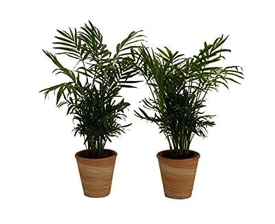 Pflanzenservice 891132 Zimmerpalmen-Duo mit Dekotopf, terrakotta von Amazon.de Pflanzenservice auf Du und dein Garten