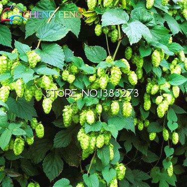 20 Pcs Humulus lupulus Graines Plantes en pot Home Brew Your Own Beer Renvoie an après les plantes Année Formulaire Rhizomes Seed Free Ship.